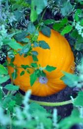 cornstalk-pumpkin-patch-livividli-laura-miller-artist.6