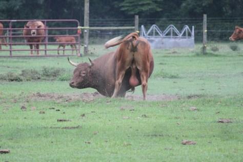 bull-19122_1920