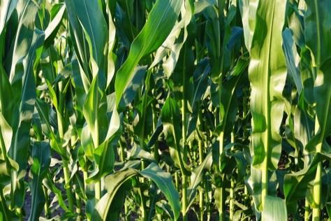 cornfield-855929_1280