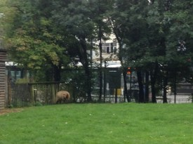 Sheep right by the bus stop (they look as confused as we were)