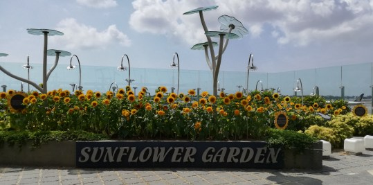 Rooftop sunflower garden