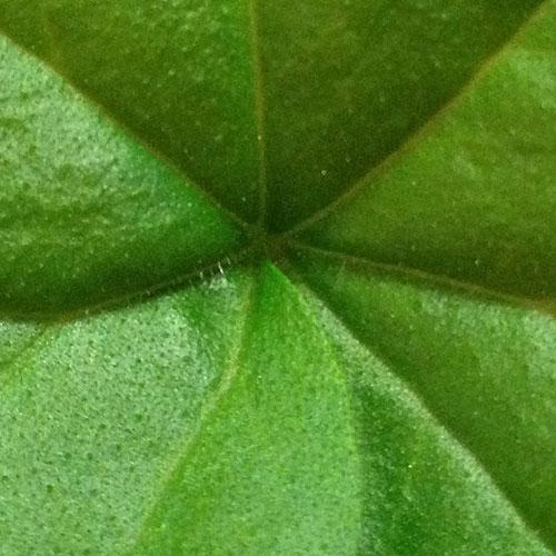 leaf_sq_z_500