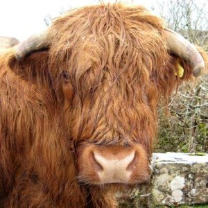 Cow? [15 words or less poems]