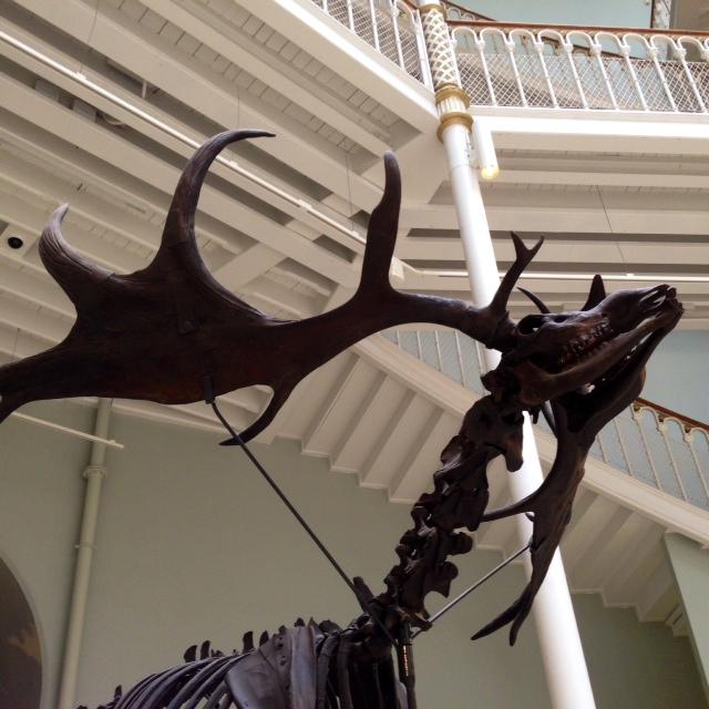 Giant Irish deer