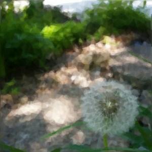 Dandelion 15wol