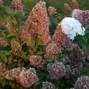 Hydrangeas (I think) [15 Words or Less]