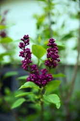 april-lilac