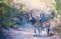 """Zebra Crossing"" has a whole new meaning to me now!!!"