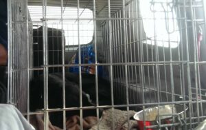 black Lab lying in wire crate casually, resting in car