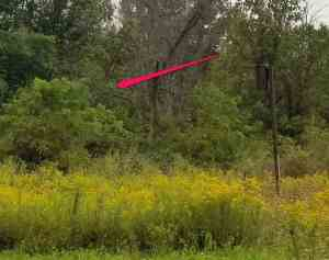 photo of trees with red arrow pointing to tiny distant Great Blue Heron on a branch