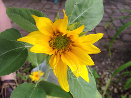 Another-Sunflower