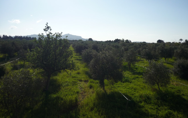 Spring in Sicily. 500 green olive trees against a blue sky.