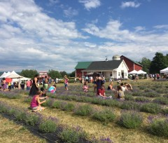 My first ever Fingerlakes Lavender Festival at Lockwood Farms, beautiful place!