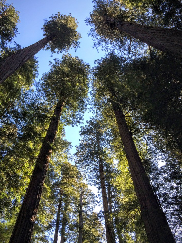 One of many neck-craning moments in Redwoods National Park
