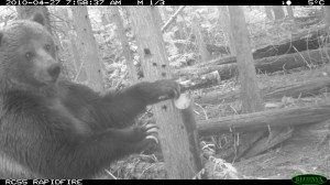Grizzly caught on remote camera in British Columbia