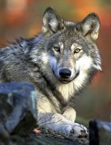 graywolfphotogarykramerusfws