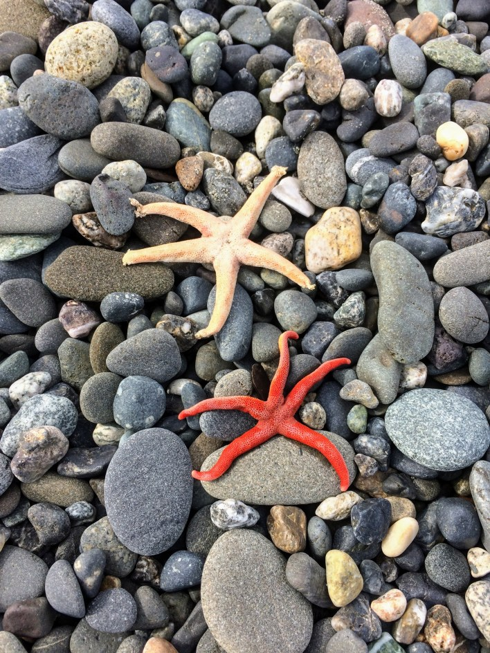 Sea stars at Dungeness Spit