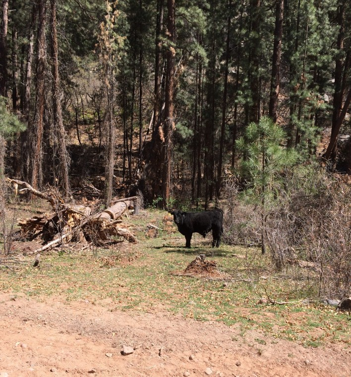 cows on road in Jemez National Forest