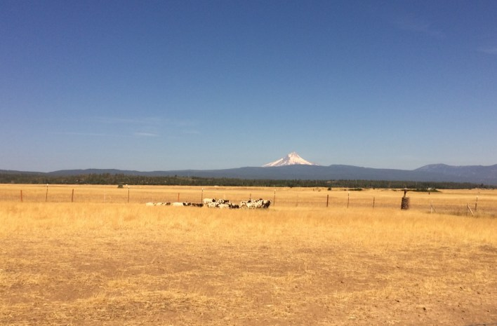 Do the Jacob sheep appreciate the views of Mt. Hood? Who knows.