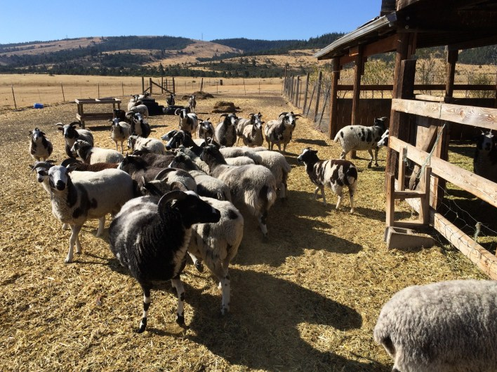 About 30 ewes, a handful of lambs, and four rams, plus assorted horses, chickens, cows, and dogs, live at Shorttail Farms.