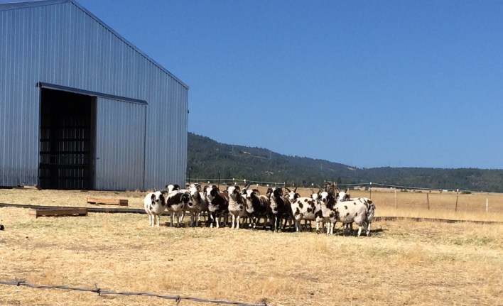 Shorttail Farms's Jacob sheep await the eclipse.