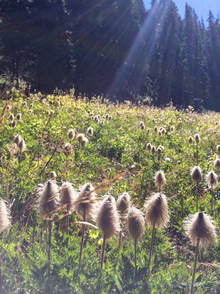 Pasqueflower seedheads recall Dr. Seuss and provide late-summer interest when most wildflowers are done.