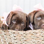 Lab Puppies Styled Shoot Boston Dog Photographer Lauren Dobish Photography Blog