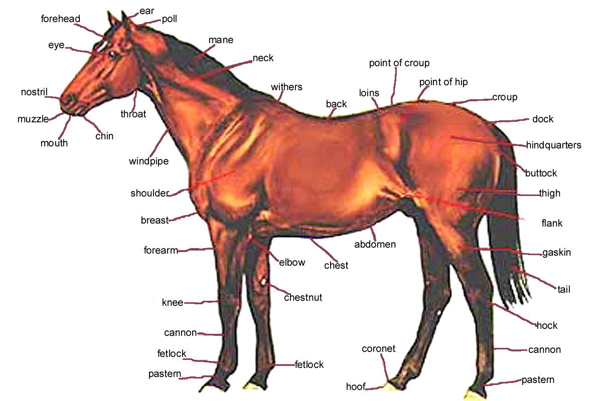 horse neck diagram toyota mr2 mk1 wiring xbox 360 slim accessories