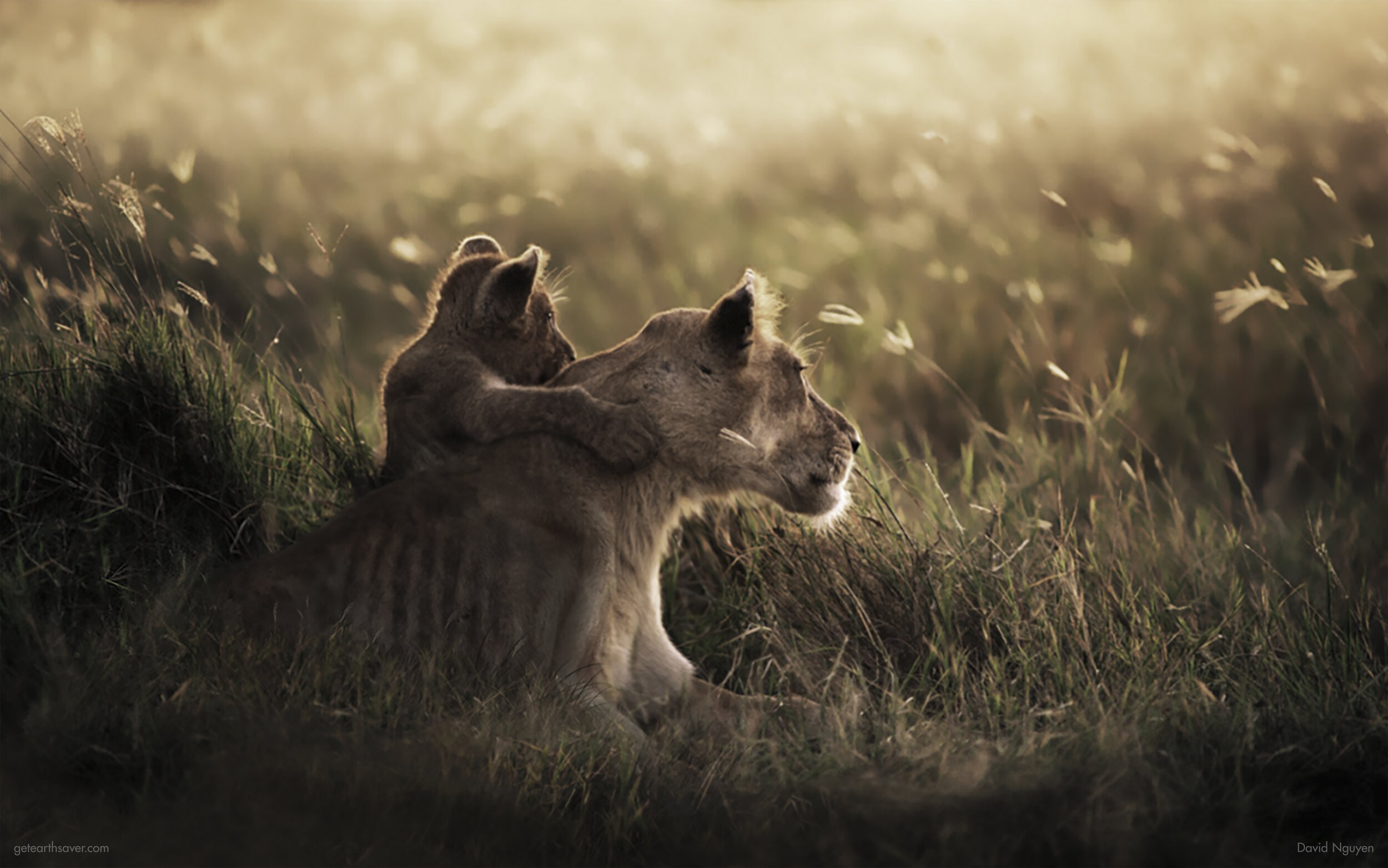 The lioness and cub are starving and sitting in dry grass.