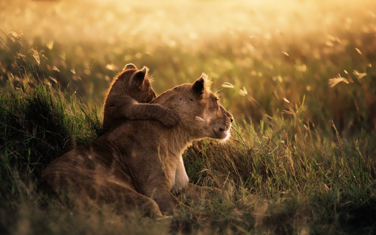 A lioness sits closely and peacefully with her cub in the grass.