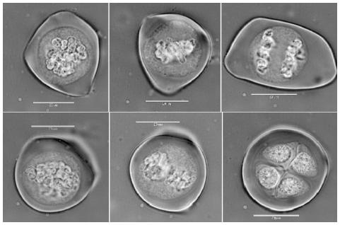Male meiosis in A. senescens
