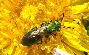 Small green bee