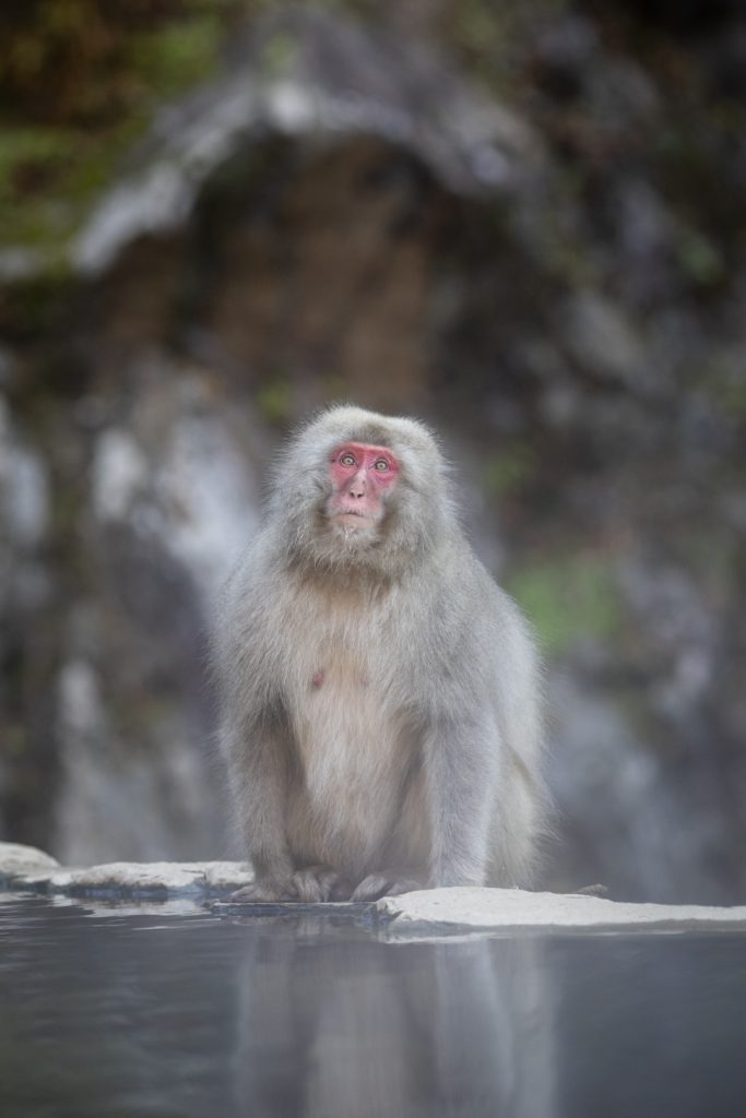 Snow monkey park, Jigokudani, Japon