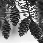Pine Cones Photograph
