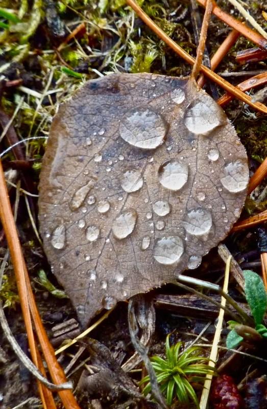 Dew beads on fallen leaf on my path