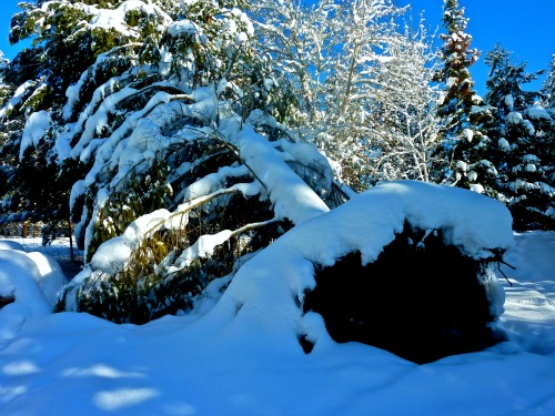 Fallen Ponderosa Pine mantled with snow