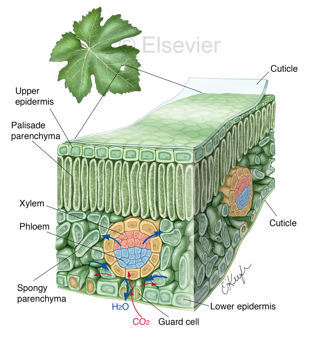 Biomedical Illustrator