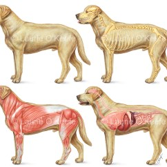 Dog Internal Anatomy Diagram 2004 Jeep Grand Cherokee Infinity Stereo Wiring Veterinary Laurie O Keefe Illustration Skeletal Muscular Organs