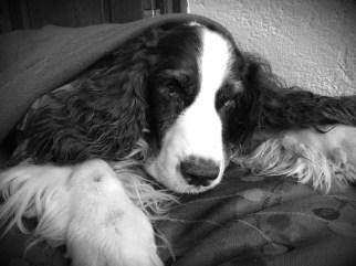 """""""A tu perro le dio un pre-infarto"""". Me dijo que lo estabilizaríamos, pero que bien podría salir o no, pues su corazón ya estaba """"muy redondo"""". Su veterinaria lloró, Badú era su perro consentido, """"el perro guapo"""" de la clínica."""