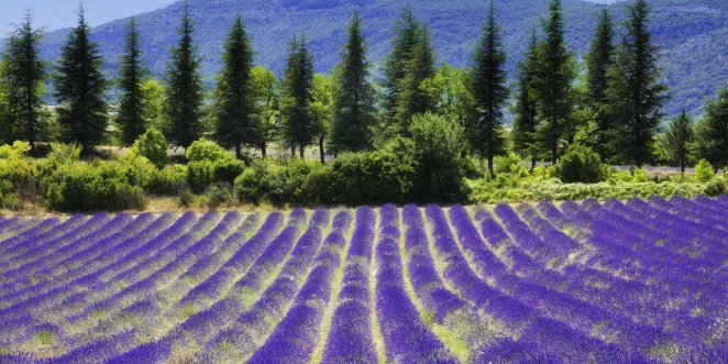 Provence, france lavender fields