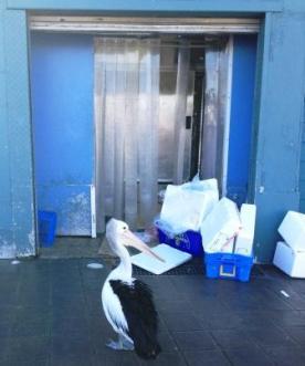 Pelikan @ Sydney Fish Market