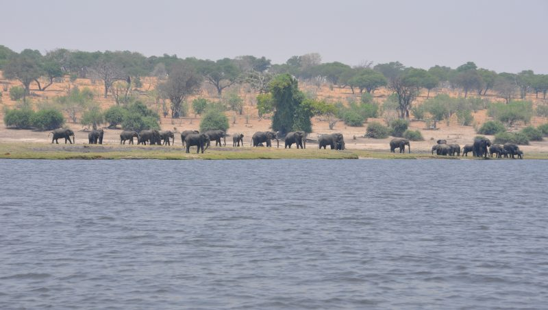 Elefanti Parco Chobe 2