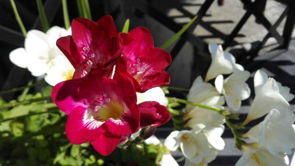 Fresie_primavera