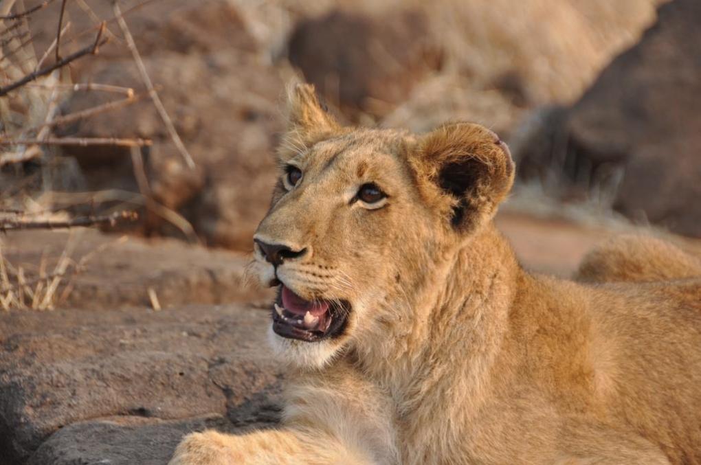 Incontro con i leoni 9