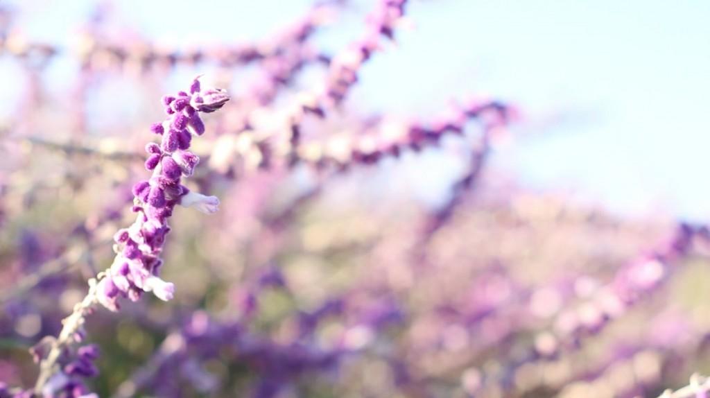 Lavender Shot