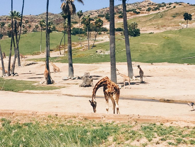 San Diego Zoo Safari Park - 10 Reasons to Visit San Diego, California