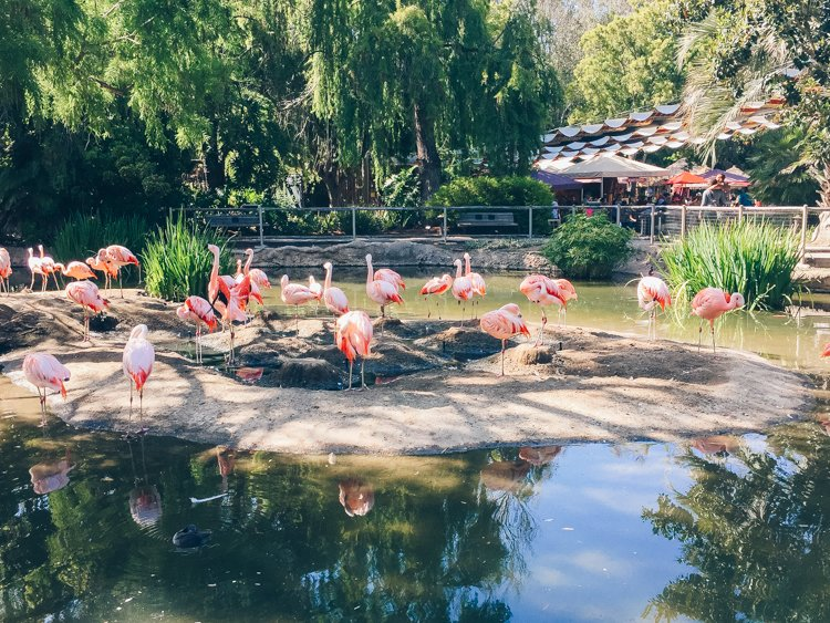 Pink Flamingos - San Diego Zoo Safari Park