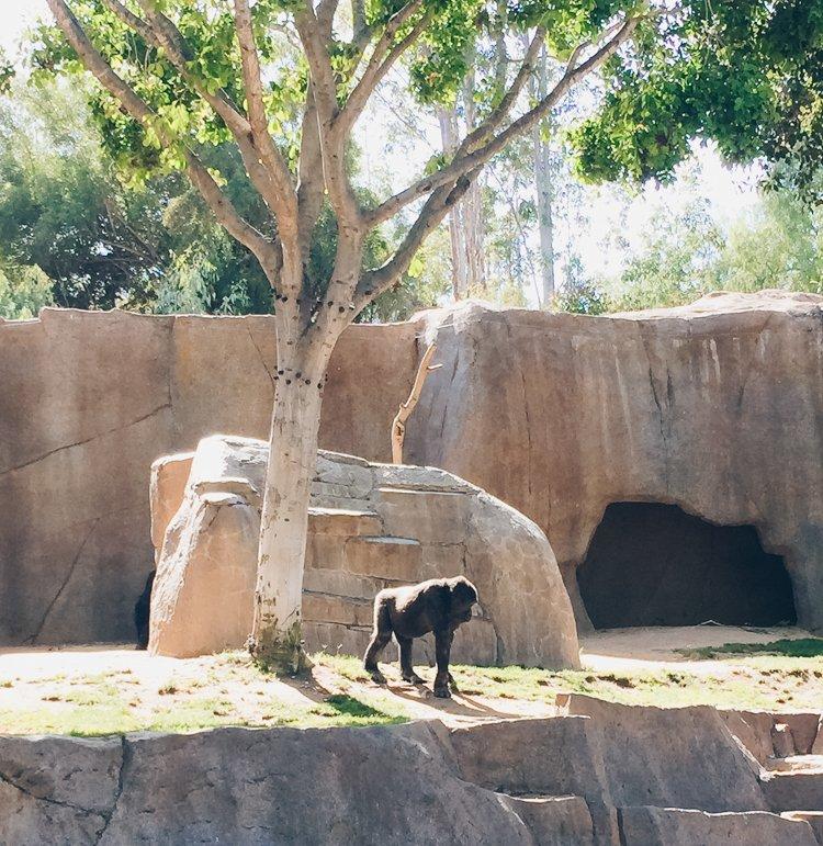 Gorilla - San Diego Zoo Safari Park