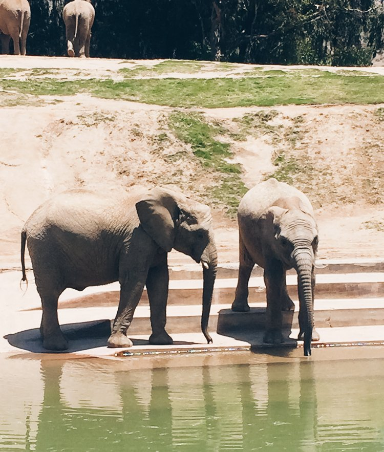 Elephants - Africa Tram - San Diego Zoo Safari Park