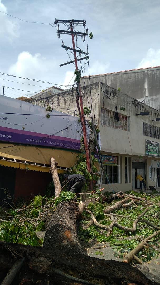 desplome de arbol en la avenida miranda dejo sin electricidad e internet a parte de maturin laverdaddemonagas.com arbol6